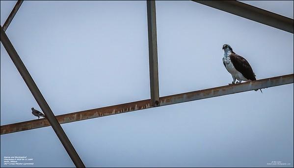 P6110121_osprey
