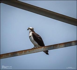 P6110132_osprey