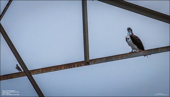 P6110120_osprey