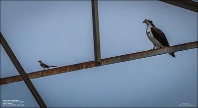 P6110125_osprey