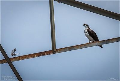 P6110126_osprey