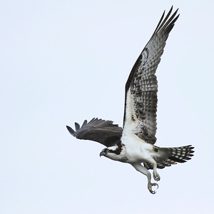 Osprey taking flight, look at those talons! Klineline Park, Vancouver WA  Print size 5 x 7 $14.00 USD 8 x 10 $20.00 USD 8 x 12 $20.00 USD 11 x 14 $28.00 USD 12 x 18 $35.00 USD 16 x 20 $50.00 USD