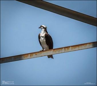 P6110140_osprey