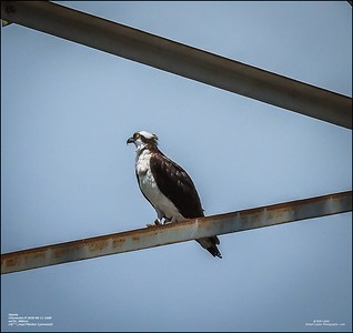 P6110131_osprey