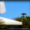 """Osprey...©  <a href=""""http://www.PhotosRUs2008.com...Bob"""">http://www.PhotosRUs2008.com...Bob</a> Lester...All rights reserved."""