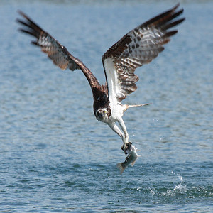 An osprey with dinner, seen at the Klineline Pond in Vancouver, Washington  Print size 5 x 7 $14.00 USD 8 x 10 $20.00 USD 8 x 12 $20.00 USD 11 x 14 $28.00 USD 12 x 18 $35.00 USD 16 x 20 $50.00 USD