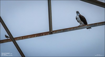 P6110122_osprey