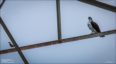 P6110123_osprey