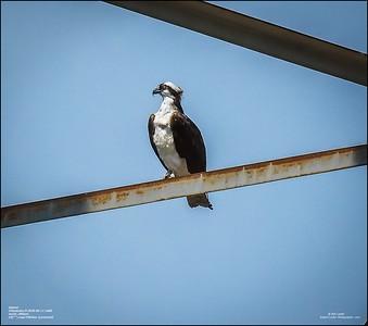 P6110141_osprey