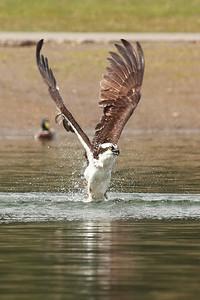 Osprey coming up empty. Klineline Park, Vancouver WA  Print size 5 x 7 $14.00 USD 8 x 10 $20.00 USD 8 x 12 $20.00 USD 11 x 14 $28.00 USD 12 x 18 $35.00 USD 16 x 20 $50.00 USD