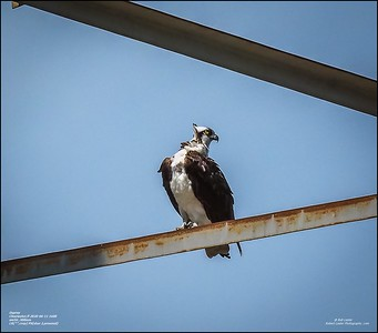 P6110136_osprey