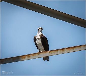 P6110135_osprey