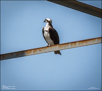 P6110142_osprey