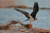 Osprey with nesting material