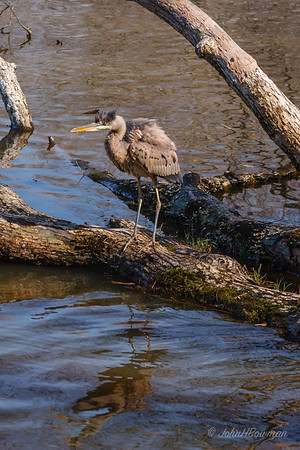 Herons, Other Wading Birds