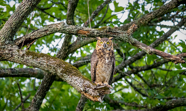 A couple of owl shots from last year. Hoping to get lucky again pretty soon.