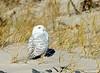 20171126_Snowy Owl_32