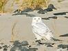 20171126_Snowy Owl_45