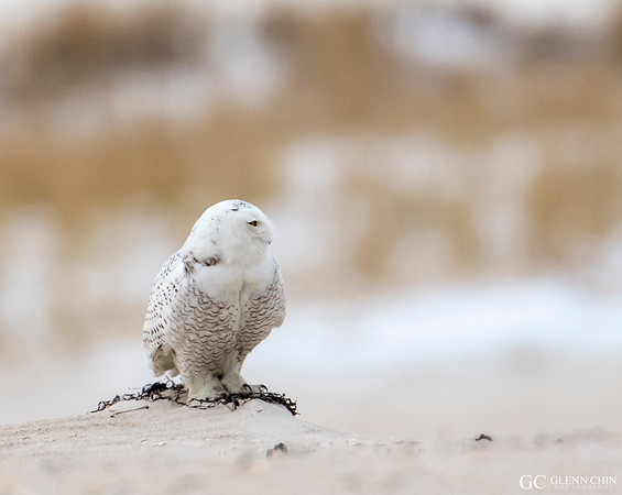 20171217_Snowy_Owl_90