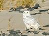 20171126_Snowy Owl_43
