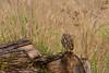 Burrowing Owl in Marymoor Park<br /> March 20, 2016