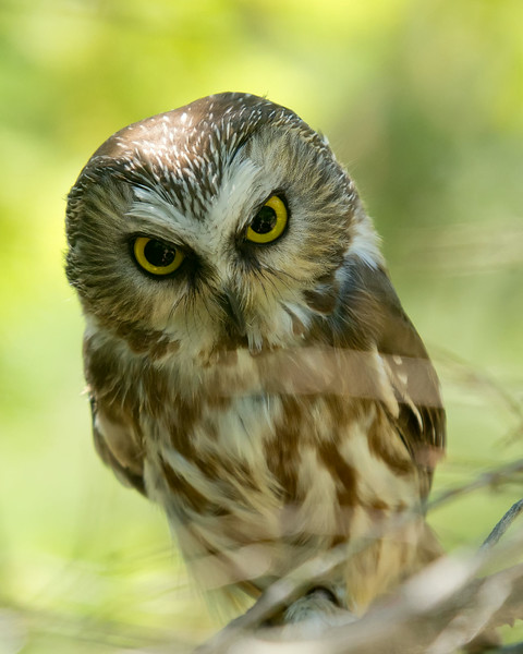 Ned the saw whet owl from Wings of Wonder, Empire, MI