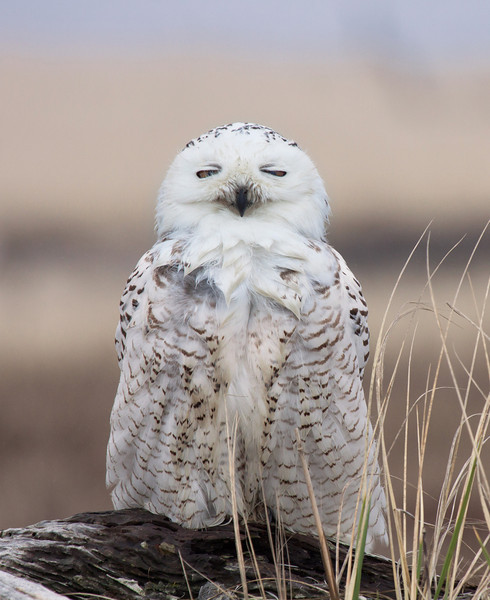 "Snowy Owl, Ocean Shores, WA.  <div class=""ss-paypal-button""> <br>Print size5 x 7 $14.00 USD8 x 10 $20.00 USD8 x 12 $20.00 USD11 x 14 $28.00 USD12 x 18 $35.00 USD16 x 20 $50.00 USD<img alt="""" src=""https://www.paypalobjects.com/en_US/i/scr/pixel.gif"" width=""1"" height=""1""> </div><div class=""ss-paypal-button-end"" style=""""></div>"