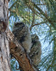 Nap Time-Great horned owlets, Fort Myers, FL