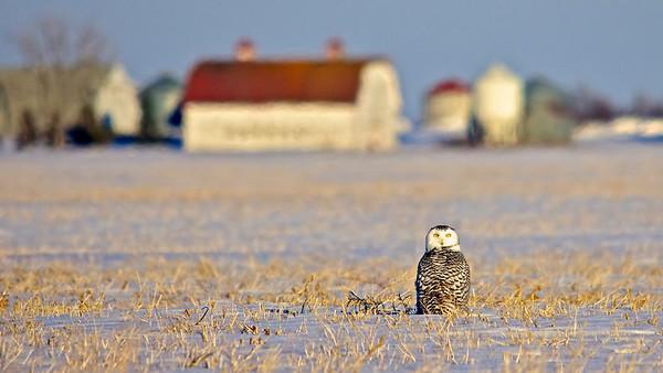 Snowy Owl, Saskatchewan, Prairie