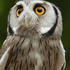 African white faced owl