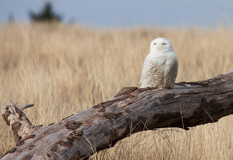 """Snowy Owl, Ocean Shores, WA.  <div class=""""ss-paypal-button""""> <br>Print size5 x 7 $14.00 USD8 x 10 $20.00 USD8 x 12 $20.00 USD11 x 14 $28.00 USD12 x 18 $35.00 USD16 x 20 $50.00 USD<img alt="""""""" src=""""https://www.paypalobjects.com/en_US/i/scr/pixel.gif"""" width=""""1"""" height=""""1""""> </div><div class=""""ss-paypal-button-end"""" style=""""""""></div>"""