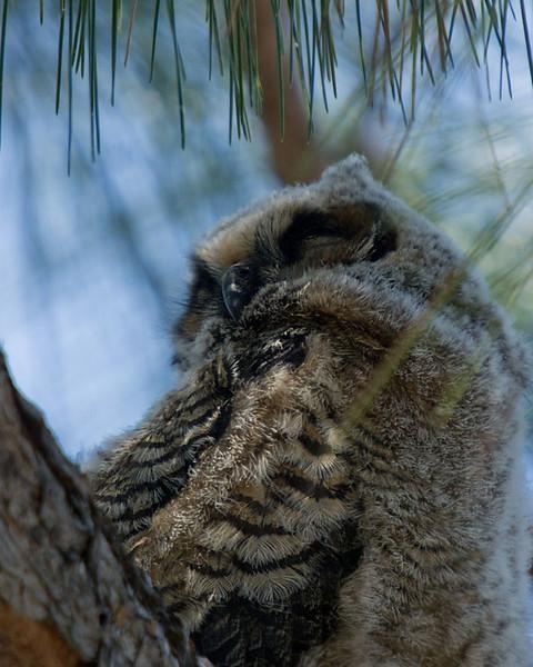 Zzzzzzz-Great horned owlet, Fort Myers, FL