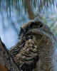 Zzzzzzz-Great horned owlet, Fort Myers, FL