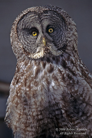 Great Gray Owl, Strix nebulosa, controlled conditions
