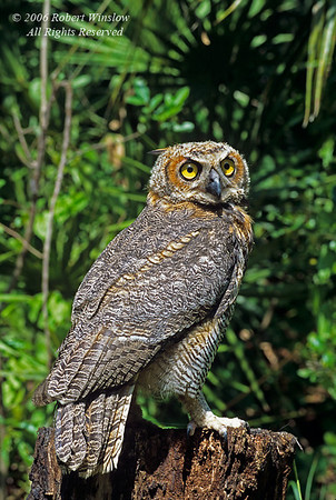Great Horned Owl, Bubo virginianus, controlled conditions