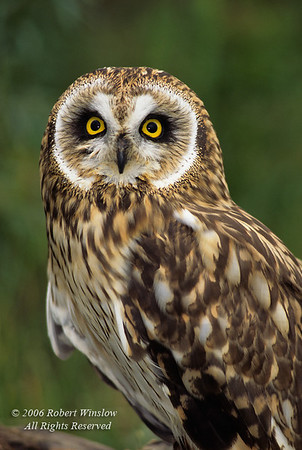 Short-eared Owl, Asio flammeus, controlled conditions