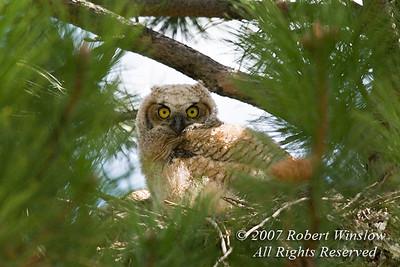 Young Great Horned Owl, Bubo virginianus, in a Ponderosa Pine Tree, La Plata County, Colorado, USA, North America
