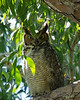 Great horned owl parent-Fort Myers, FL