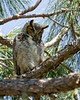 Hoo Goes There?-Great horned owl parent photo #2-Fort Myers, FL