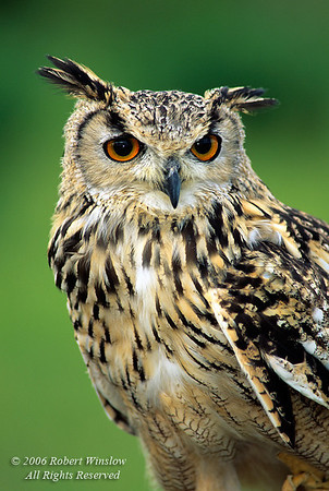 Eurasian Eagle Owl, Bubo bubo, controlled conditions