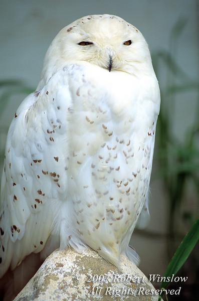 Snowy Owl, Nyctea scandiaca, Controlled Conditions, Canada, North America