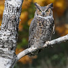 Nature photographer Jerry Dalrymple shares a great horned owl in autumn shot in Michigan