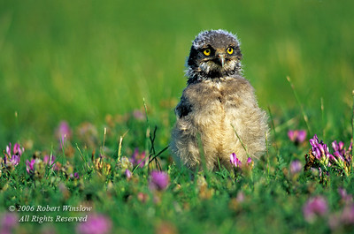 Young Burrowing Owl, Athene cunicularia, Alberta, Canada, North America, controlled conditions