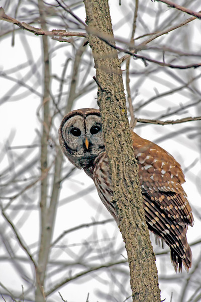Barred Owl, Muscatatuck Nature Preserve taken by photographer Jerry Dalrymple