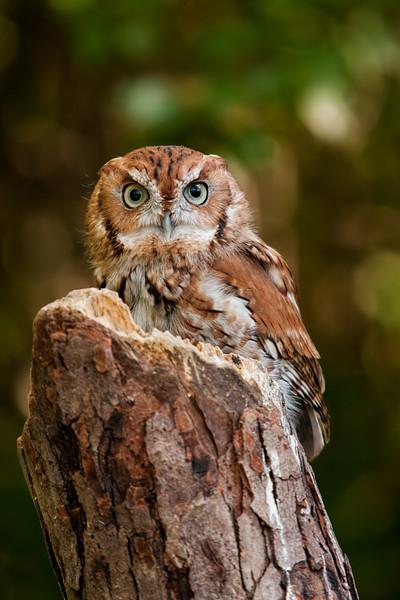 Screech Owl - red morph
