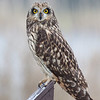 "I was very surprised to have come across this Short Eared Owl who seemed to have come out of no where to land on this post right by me at Ridgefield National Wildlife Refuge <div class=""ss-paypal-button""> <br>Print size5 x 7 $14.00 USD8 x 10 $20.00 USD8 x 12 $20.00 USD11 x 14 $28.00 USD12 x 18 $35.00 USD16 x 20 $50.00 USD<img alt="""" src=""https://www.paypalobjects.com/en_US/i/scr/pixel.gif"" width=""1"" height=""1""> </div><div class=""ss-paypal-button-end"" style=""""></div>"