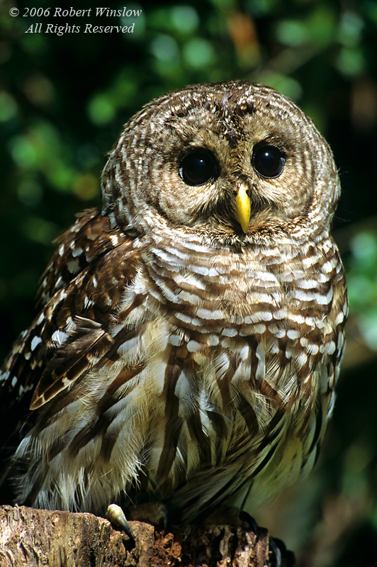 Barred Owl, Strix varia, controlled conditions