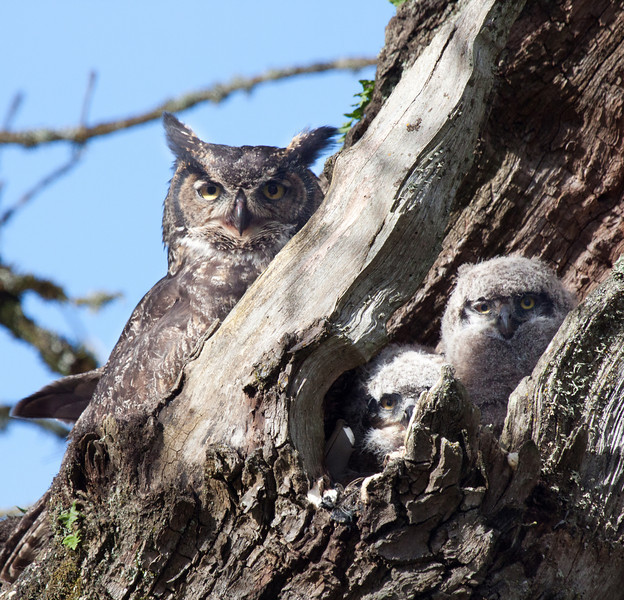 "Kingdom: Animalia Phylum: Chordata Class: Aves Order: Strigiformes Family: Strigidae Genus Bubo Species: B. virginianus  <div class=""ss-paypal-button""> <br>Print size5 x 7 $14.00 USD8 x 10 $20.00 USD8 x 12 $20.00 USD11 x 14 $28.00 USD12 x 18 $35.00 USD16 x 20 $50.00 USD<img alt="""" src=""https://www.paypalobjects.com/en_US/i/scr/pixel.gif"" width=""1"" height=""1""> </div><div class=""ss-paypal-button-end"" style=""""></div>"