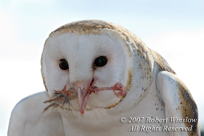 Barn Owl, Tyto alba, With Food in Its Mouth, Controlled Conditions, Arizona Sonora Desert Museum, Tucson, Arizona, USA, North America