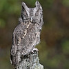 Screech Owl shot in Michigan by photographer Jerry Dalrymple